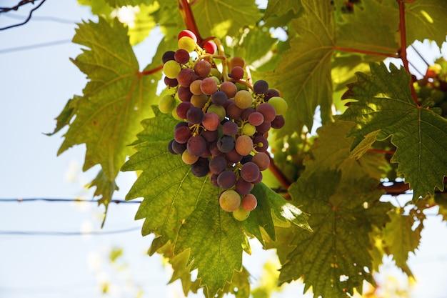 夏の日にブドウ園にぶら下がっている色のブドウの束