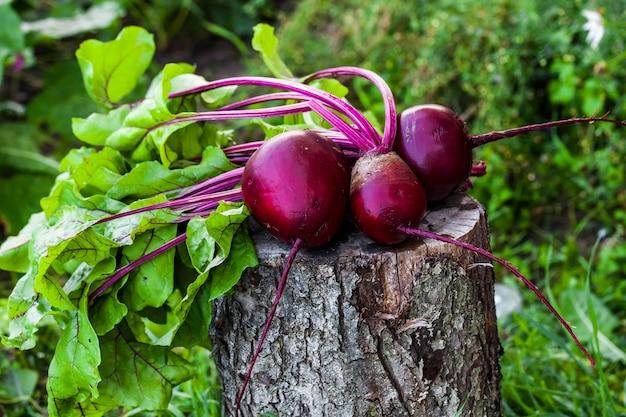 Букет из свежей свеклы с листьями в саду