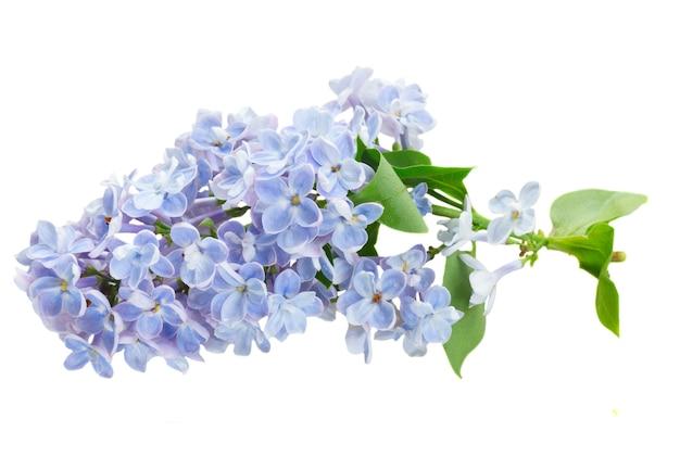 白い背景で隔離の新鮮な青いライラックの花の束