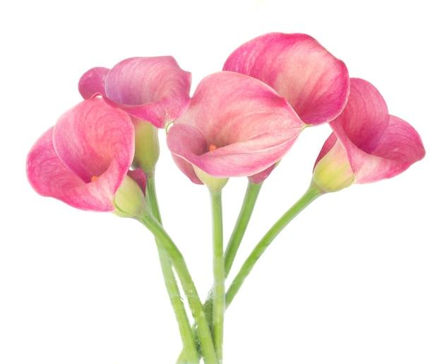 고립 된 신선한 칼라 릴리 꽃의 무리