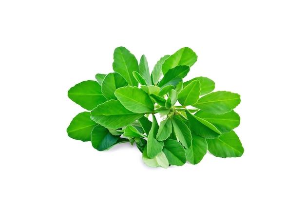 白い花と白い背景で隔離の緑の葉を持つ新鮮なフェヌグリークの束