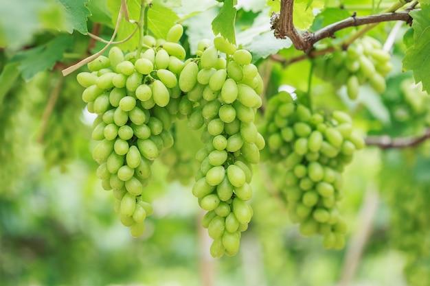 Букет свежего зеленого винограда в винограднике