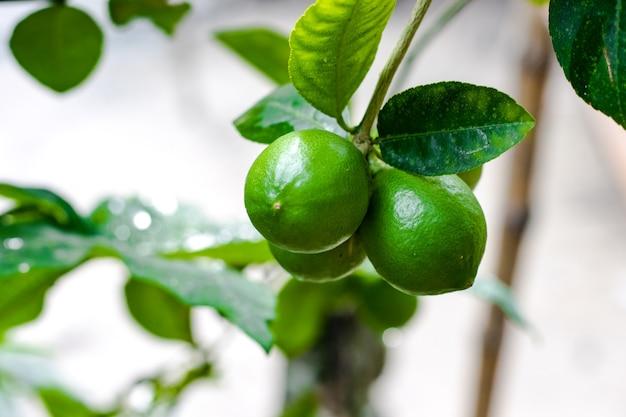 나무에 매달려 있는 신선한 유기농 녹색 레몬 다발