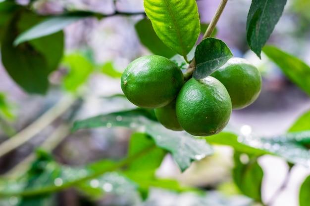 나무에 매달려 있는 신선한 유기농 어린 녹색 레몬 다발