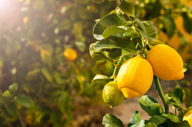 레몬 트리에 신선한 익은 레몬의 무리