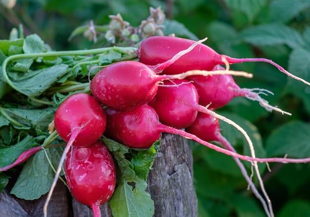 夏の庭で摘みたての大根の束