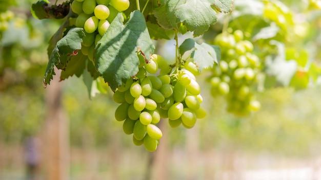 日差しの中でブドウ畑のブドウの房。つるのブドウをブドウ栽培者。