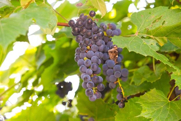 日光でブドウのブドウの房