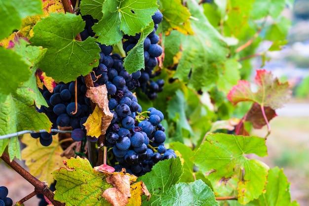 Гроздь винограда, виноградник с красным виноградом