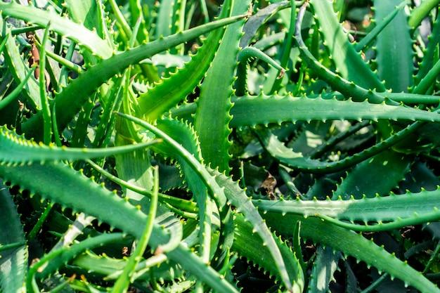 정원에서 녹색 alovera 식물의 무리