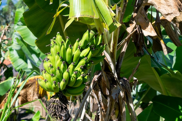 Букет из зеленого банана на плантации
