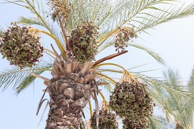 Букет зеленых бананов созревает на пальме в концепции садовой банановой плантации