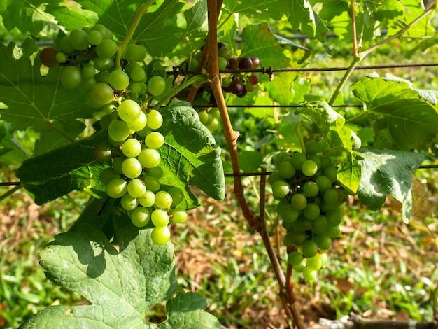 明るいブドウ園の緑色の白いぶどうの果実の束