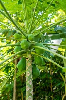인도네시아에서 나무에 녹색 파파야의 무리를 닫습니다