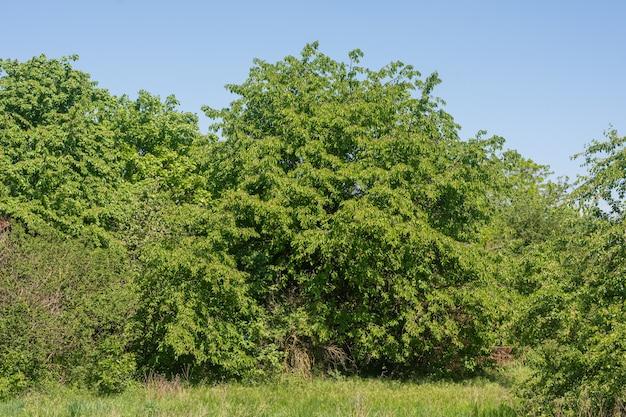 青い空の下で前景に草のある公園の緑の木々の束