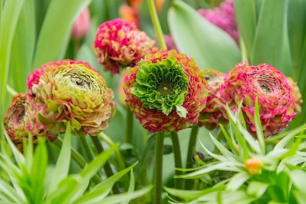 Букет из разноцветных цветов лютика на зеленых листьях
