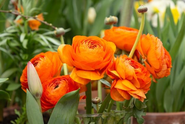 Букет из оранжевых цветов лютика на зеленых листьях