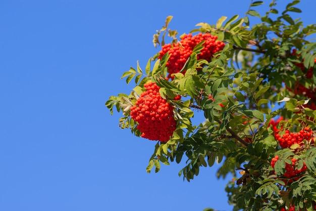 青い空を背景に葉の間の枝にオレンジ色のナナカマドの果実の束 Premium写真