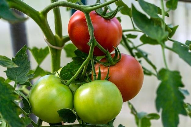 温室内の有機完熟トマトと未熟トマトの束。自家製、ガーデニング、農業の概念。 solanum lycopersicumは、一年生または多年生のハーブであるナス科です。種子を包装するためのカバー。
