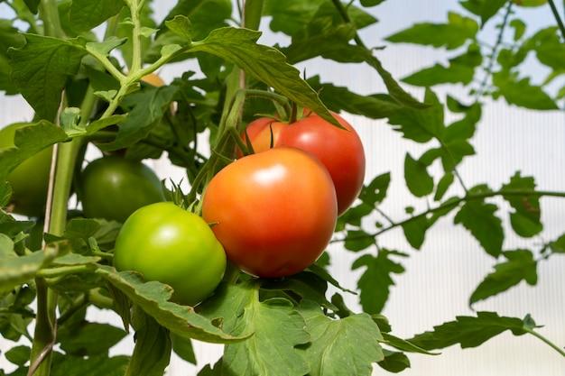 온실에 있는 유기농 익은 토마토와 덜 익은 토마토. 자생, 원예 및 농업 개념입니다. solanum lycopersicum은 일년생 또는 다년생 초본, solanaceae 가족입니다. 종자 포장용 덮개