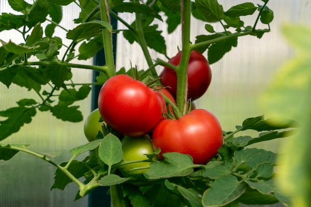 온실에서 유기농 익은 붉은 육즙 토마토의 무리. 자생, 원예 및 농업 개념입니다. 솔라늄 리코페르시쿰. 종자 포장용 덮개. 토마토 농장