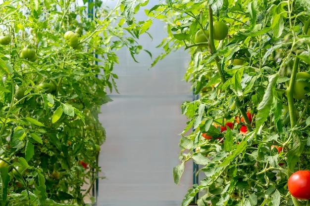 온실에서 유기농 익은 붉은 육즙 토마토의 무리. 자생, 원예 및 농업 개념입니다. 솔라늄 리코페르시쿰. 신선한 무리, 토마토 농장입니다. 광고 텍스트를 위한 공간을 복사합니다.