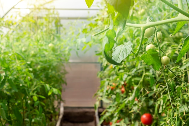 温室内の有機熟した赤いジューシーなトマトの束。自家製、ガーデニング、農業の概念。 solanumlycopersicum。新鮮な束、トマト農園。広告テキスト用のスペースをコピーします。