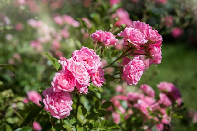庭に咲くピンクのバラの束