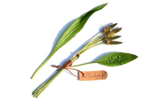 Гроздь подорожника (plantago lanceolata) на белой поверхности. на этикетке указано название растения