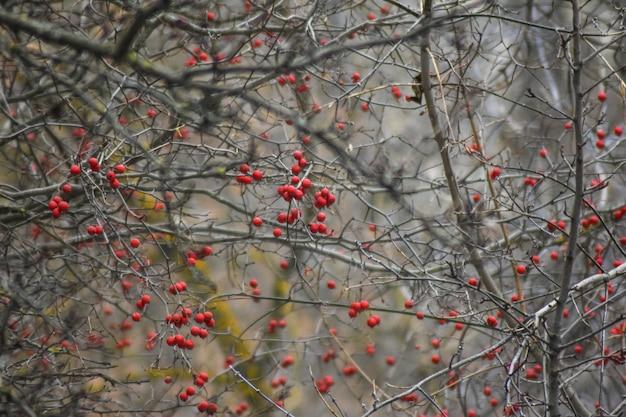 나무에 붉은 재의 무리
