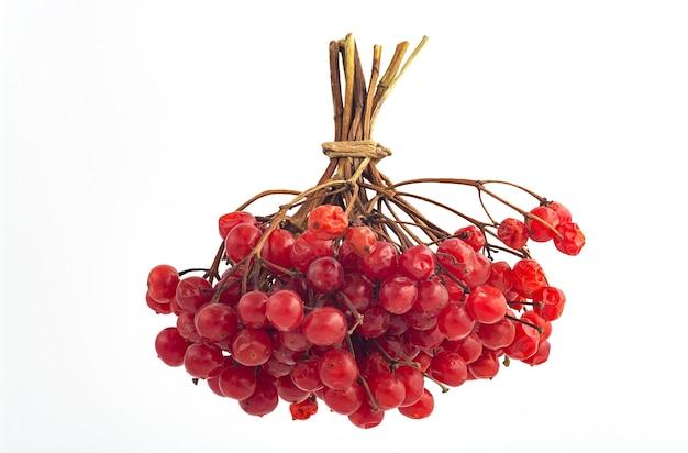Viburnum의 붉은 익은 열매의 무리
