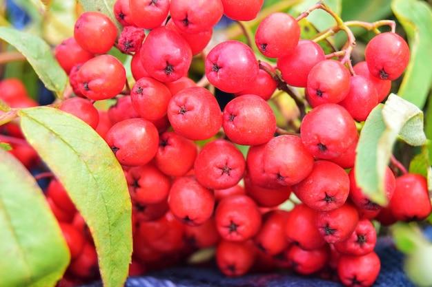 빨간 마가목 열매의 무리를 닫습니다.