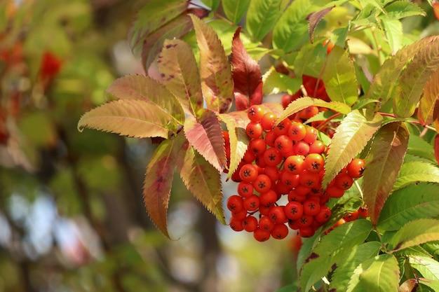 秋の赤い果実と色とりどりの葉と赤いナナカマドの束
