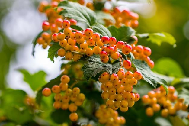 枝に赤いガマズミ属の果実の束。