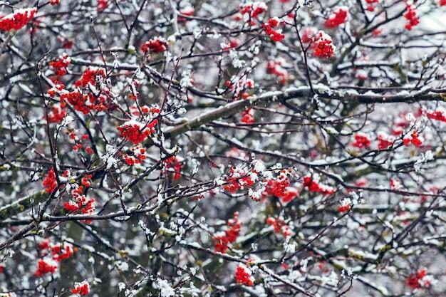 木の上の冬の赤いガマズミ属の木の束