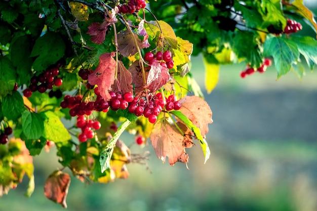 ぼやけた背景の晴れた日に赤いガマズミ属の木の束