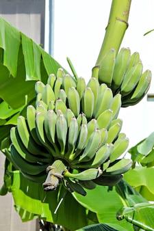 나무에 바나나를 숙성의 무리