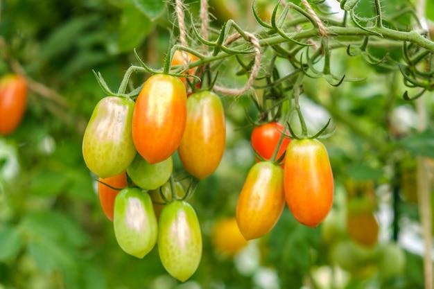 작은 채소 농장의 온실에 있는 다양한 성숙도의 작은 토마토 다발