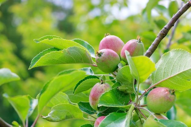 緑の葉の間の枝に未熟なリンゴの束