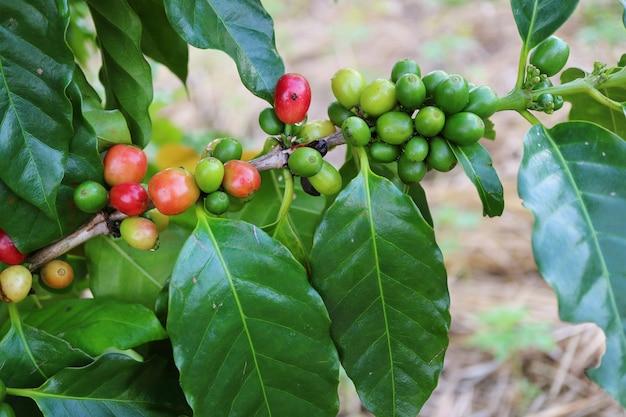 나뭇 가지에 설 익은 커피 체리의 무리