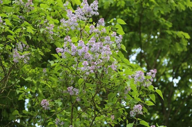紫のライラックの花の束
