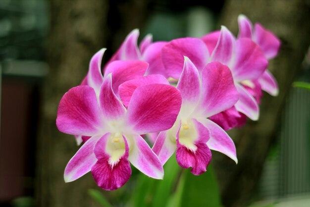鮮やかなピンクと白の咲く蘭の束