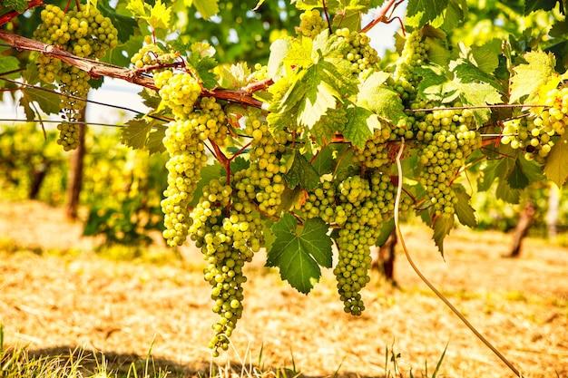 夏の日にイタリアのブドウ園にぶら下がっている白ブドウの束
