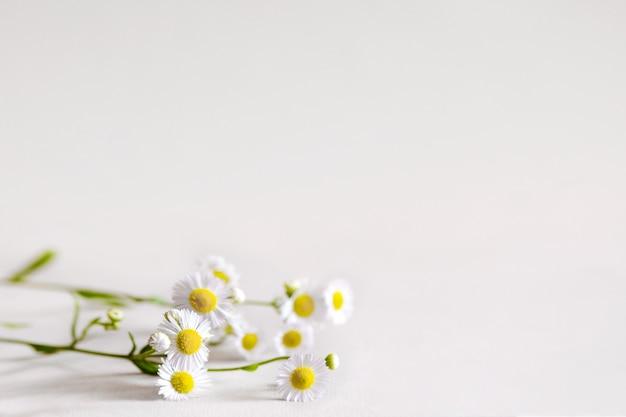 흰색 테이블에 야생 카밀레 흰색 꽃의 무리