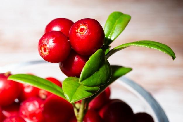 茂みに野生の熟した赤い森のリンゴンベリーの束