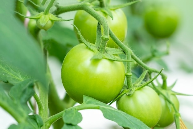Bunch of organic unripe green tomato in a greenhouse. homegrown, gardening and agriculture consept.