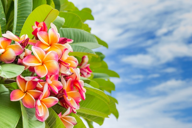 Bunch of pink plumeria flower on the tree