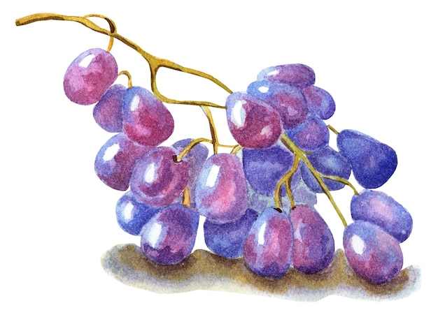 A bunch of purple grapes harvest berries watercolor illustration isolated on white background