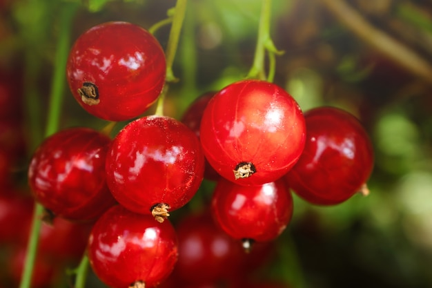 A bunch of red currants on a branch