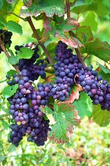 Bunch red grapes growing in a french vineyard